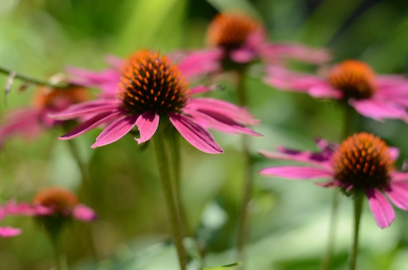 elizabethhalt.com | jcrew stylists must love coneflowers
